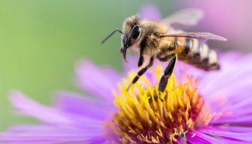 Dünyanın kaderi arıların kanatlarında